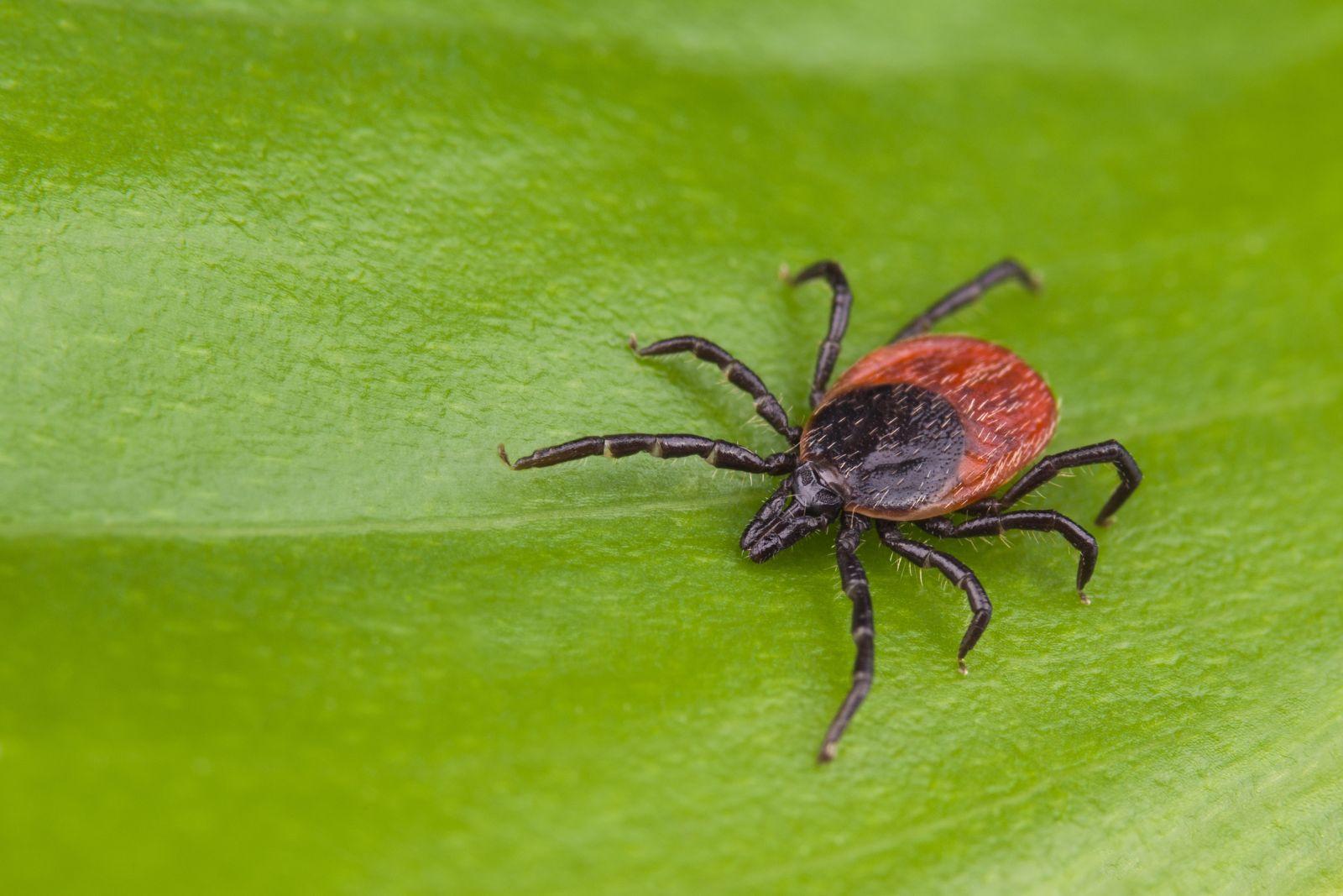 Adult black-legged tick